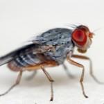 fruitfly1